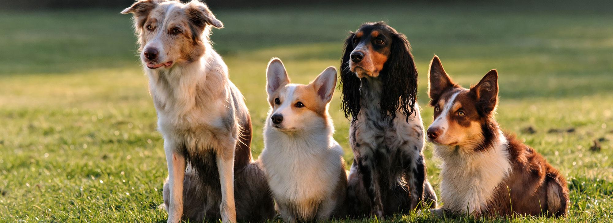 Different Dog Breeds Sitting Together